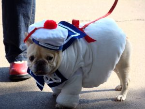 1024px-Stay_puft_french_bulldog_(2956799679)